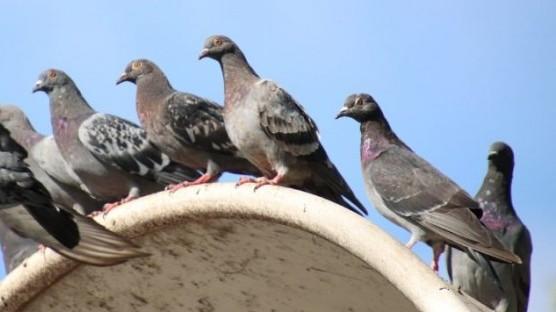 150 pigeons voyageurs volent du Louvre de Paris à celui de Lens